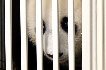 SF_20140521_Pandas_Feng_Yi_02_2105_840_559_100