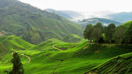 cameron_highlands_tea_plantation